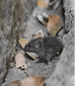 mice in crawl space